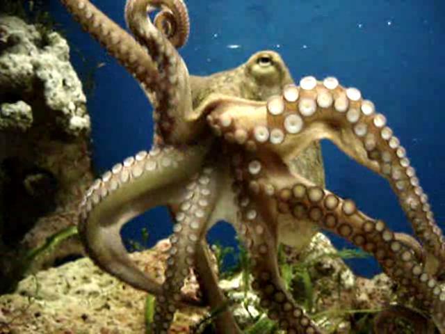 midmoving_octopus_vulgaris_20050114.ogg.jpg (42.33 Kb)